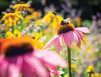 A bumblebee collecting nectar and pollen from an Echinacea flower (also known as a Coneflower).